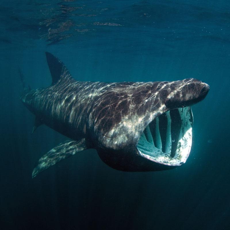 Basking Shark, Isle of Coll