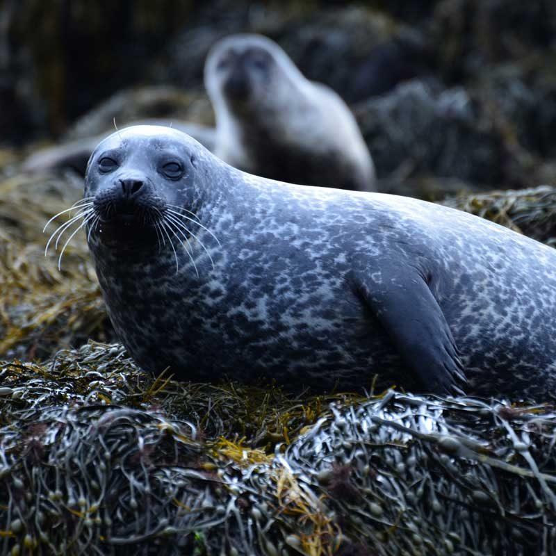 Seals, Isle of Coll